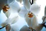 White orchid flowers. Close-up © vveronka