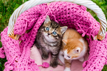 Baby striped kittens in basket with knitted pink scarf on green grass outdoors. Gray tabby kitten looks up