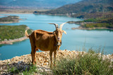 goat with horn at nature with lake and mountains - 240665305