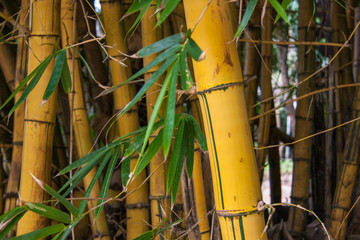 A stand of thick bamboo © lemonarti