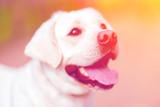 Cute golden retriever dog closeup outside. Portrait of labrador outdoors