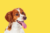 Beautiful terrier dog on a yellow background