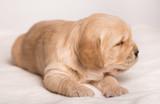 Golden Retriever dog on a white background