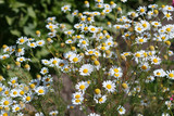 flowers white daisies on chamomile field