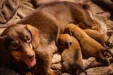 Little dachshund mom feeding puppies newborns