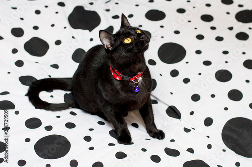 mata magnetyczna beautiful black cat on a white and black bed