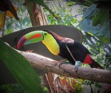 Rainbow toucan at a wildlife refuge in Costa Rica - 240756786