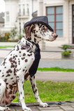 Dalmatian dog in a striped hat and tie against the background of