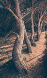 Path by a crooked trees, retro color toning applied. © MaciejBledowski