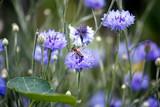 Eine Biene auf einer blauen Kornblume im Sommer