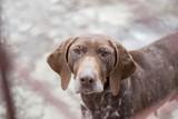Vizsla Dog close up portrait