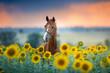 Leinwanddruck Bild - Red stallion in bridle portrait in sunflowers