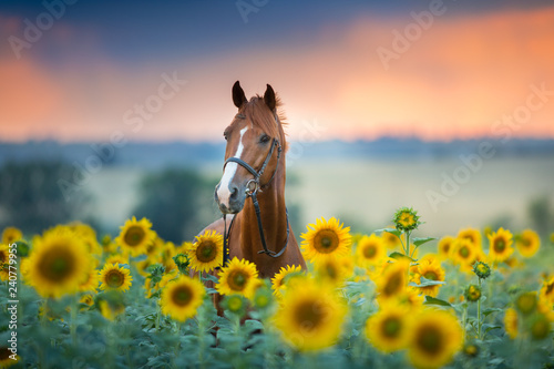 Red stallion in bridle portrait in sunflowers - 240779955