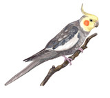 Parrot grey corella sitting on branch isolated on white background. Watercolor painting. Digital art. Illustration. Template. Clipart