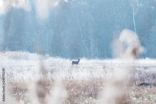 Deer In The Frosty Meadow