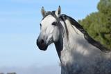 caballo español - 240797706