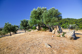 Olive trees growing in ruins of Sanctuary of Poseidon, Poros, Greece - 240805350