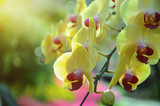 Yellow orchid flowers lit by sunlight