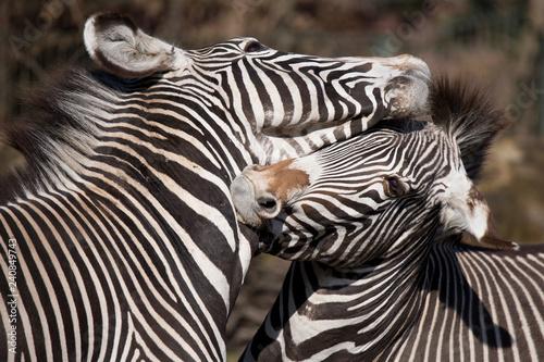 Zebra - 240849743