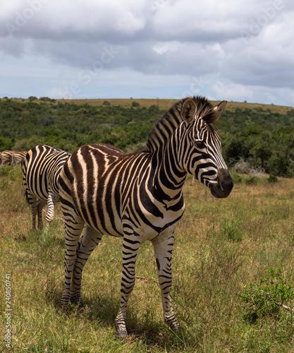 Beautifully striped zebra's wandering around in Addo Elephant Park, South Africa - 240850741