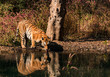 Bengal tiger drinking water from a waterhole with its reflection and eye contact