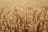 Close Up Of Crops - 240875165
