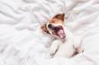 Leinwandbild Motiv cute dog sleeping and yawning on bed, white sheets.morning