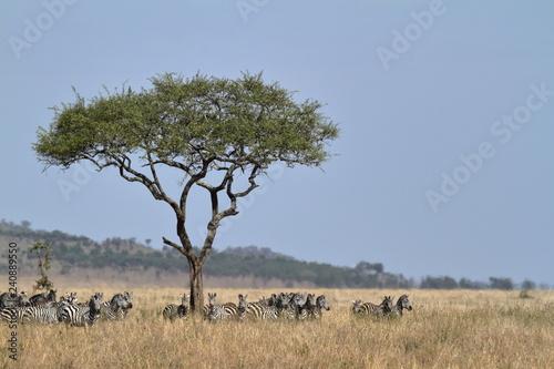 Zebras in der Savanne der Serengeti - 240889550