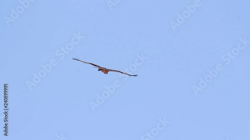 Bonelli's eagle flying in the skyeagle, bonellis, europe, southern, animal, aquila, fasciata, bird, view, shallow, people, adult, natural, branch, image, one, outdoor, nobody, horizontal, outside, wil