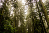 a spruce forest - 240911529