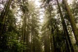 Fototapeta Las - a spruce forest © Petro Teslenko