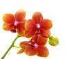 Orchideen, Orchidaceae, isoliert vor weißem Hintergrund
