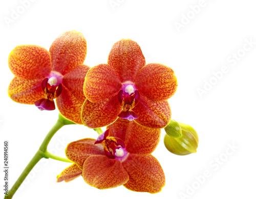 Orchideen, Orchidaceae, isoliert vor weißem Hintergrund - 240914560
