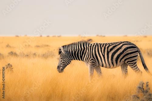 Zebra solitária - 240917936
