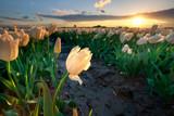 gold sunset sunshine over white tulip field