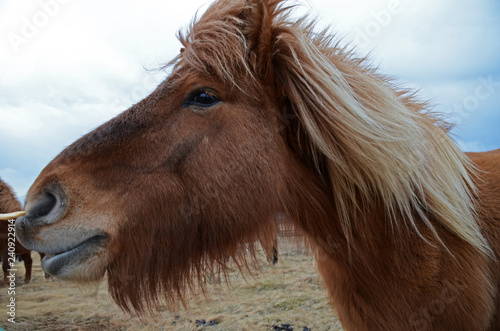 obraz lub plakat Funny and crazy Icelandic horse. the dark blue Icelandic sky