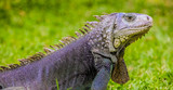 Close-up of a pet Iguana with a grey and blue color on a green grass lawn - 240950355