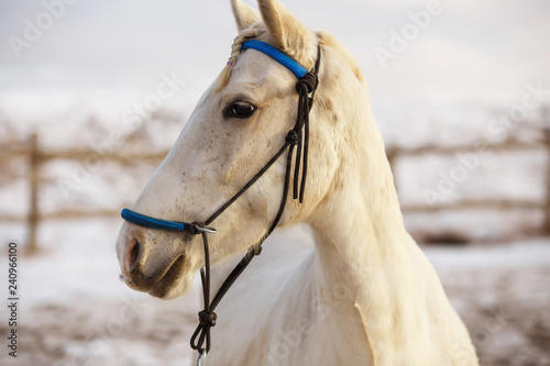 White horse runs in the winter in the snow