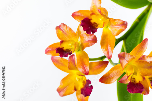 Streaked orchid flowers. Beautiful orchid flowers on white background