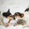 Quadro Three Jack Russell Dogs are playing in the snow together. A pack of doggies in winter outdoor