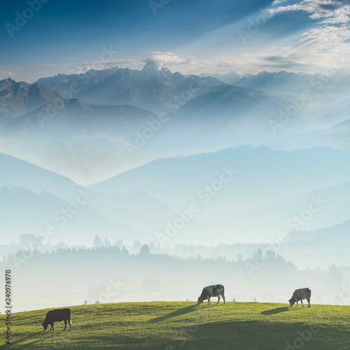 Landscape with cows on pasture and mountains