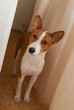 Indoor full body portrait of curious Basenji dog (11 month old)