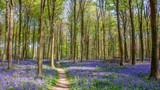 Bluebells in Wepham Wood - 240986700