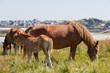 Leinwanddruck Bild - Jument Trait Breton et son poulain au pré près de la côte