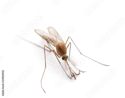 Supermacro of Mosquito isolated on white. - 241024932