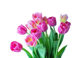 Pink tulip on white background.