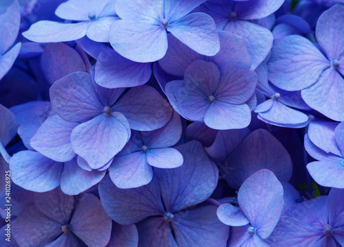 Blue Hydrangea background. Hortensia flowers surface. - 241026925