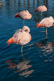 Pink Flamingos Resting in the Water