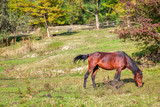 brown horse on pasture - 241057933