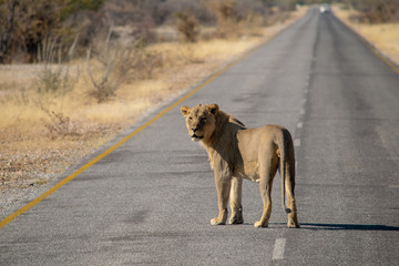 Lion crossing the road